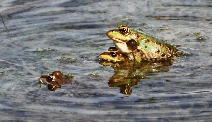 צפרדע נחלים    Marsh frog9