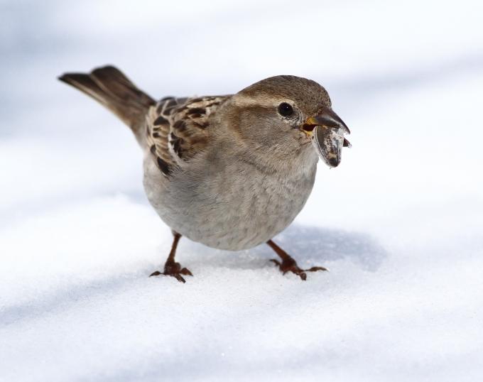 House Sparrow (1)