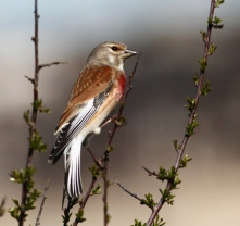 Common Linnet 1