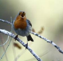 European Robin Erithacus rubecula 2