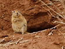 Fat Sand Rat 2