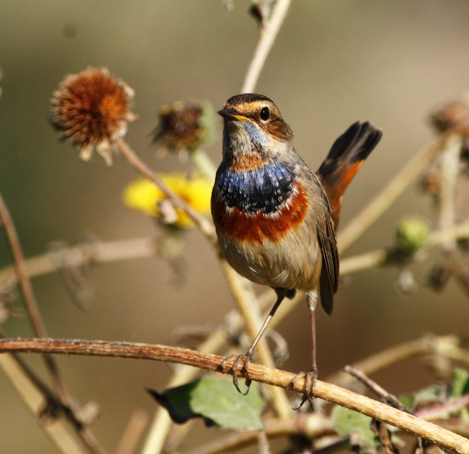 bluethroat-luscinia-svecica