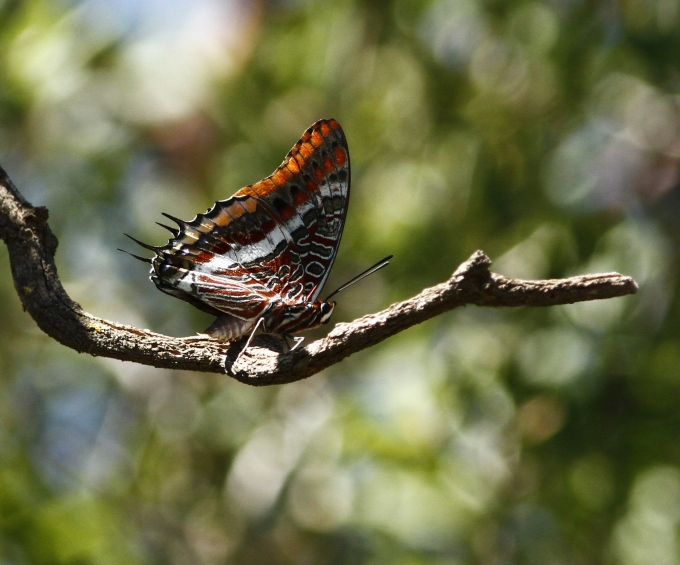 charaxes-jasius-two-tailed-pasha