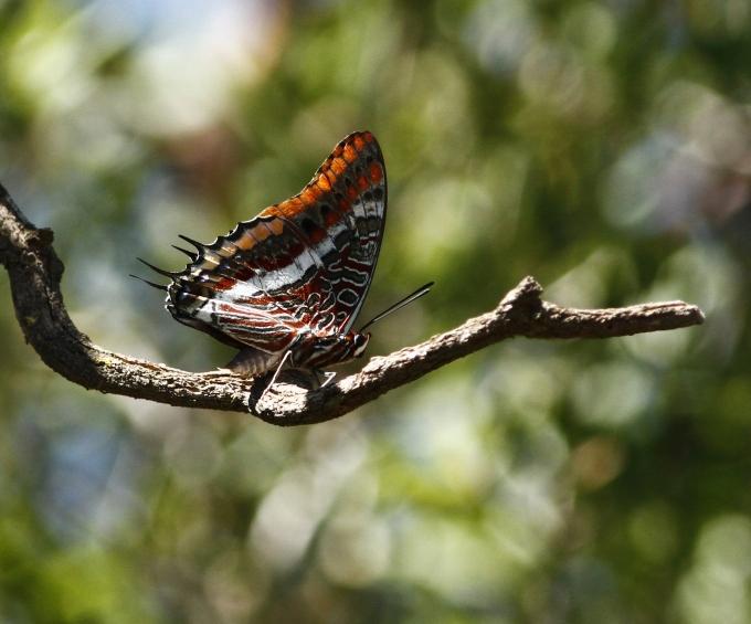 charaxes-jasius-two-tailed-pasha