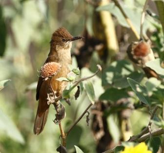 clamorous-reed-warbler-acrocephalus-stentoreus