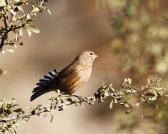 common-linnet-carduelis-cannabina