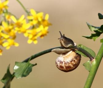 cornu-aspersum-garden-snail