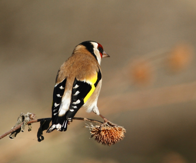 european-goldfinch-carduelis-carduelis