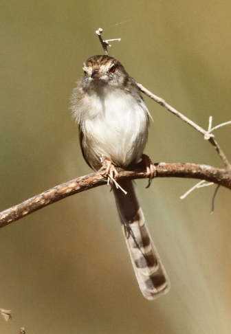graceful-prinia-prinia-gracilis