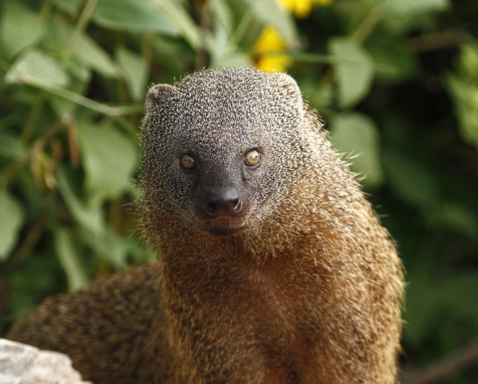 egyptian-mongoose-herpestes-ichneumon-ichneumon-2