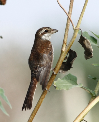 red-backed-shrike-lanius-collurio-1