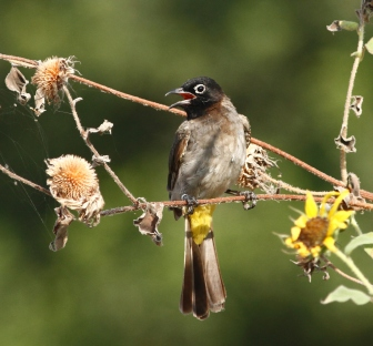 spectacled-bulbul-pycnonotus-xanthopygos-1