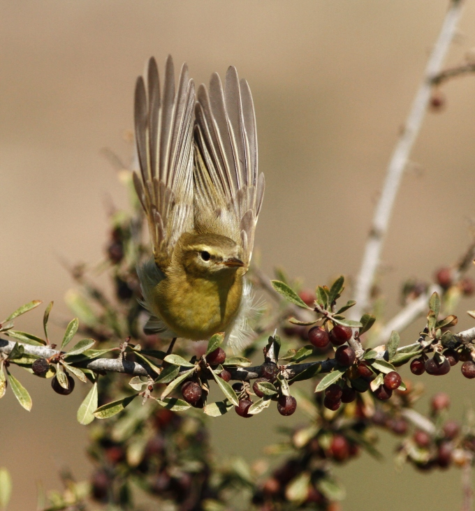 willow-warbler-phylloscopus-trochilus-1