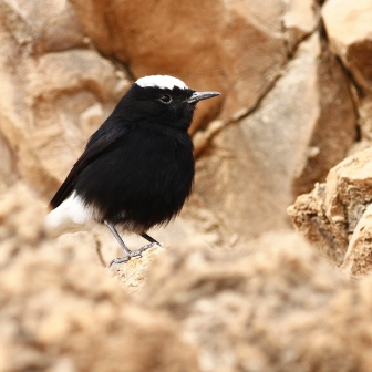 Oenanthe leucopyga - White-crowned Wheatear in Levels valley - Yehuda dezert