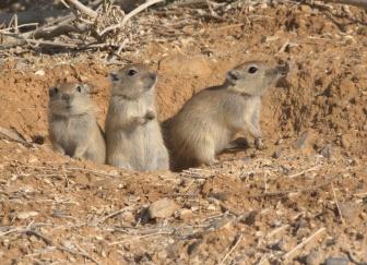 Psammomys obesus terrasanctae - Fat Sand Rat pups in Mishmar Walley - Yehuda dezert