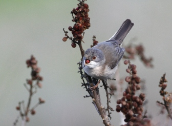 Sardinian Warbler in aharazim valley - Yehuda mountains - Sylvia melanocephala