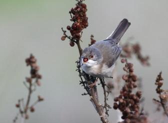 Sardinian Warbler in aharazim valley - Yehuda mountains - Sylvia melanocephala